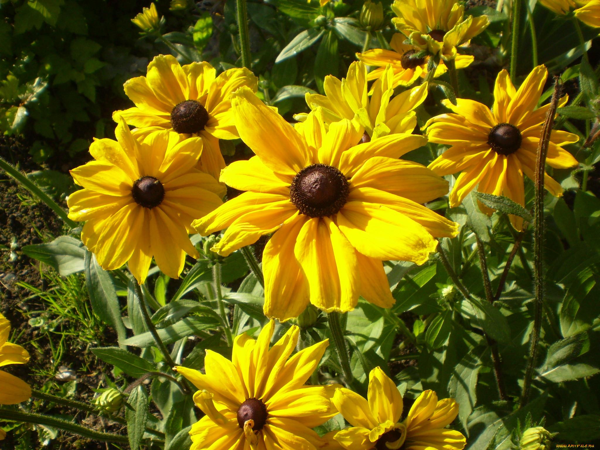 Фото цветка рудбекия мирабилис приготовленная
